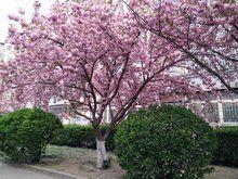 阜阳良筑苗木出售樱花