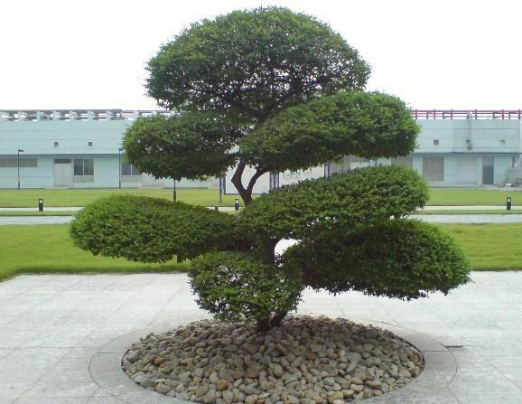 阜阳良筑苗木出售小叶女贞造型树