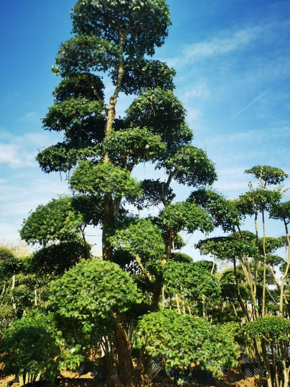 阜阳良筑出售小叶女贞造型树