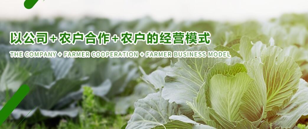 德江菜心种植批发