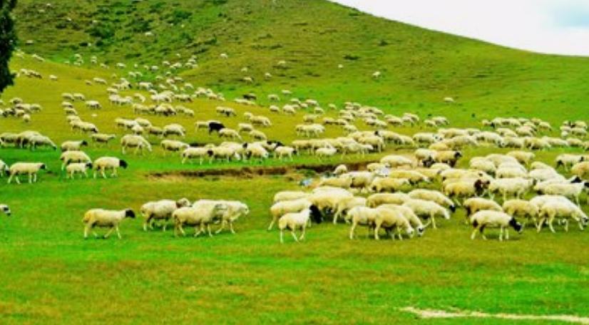 呼倫貝爾草原羊交易市場