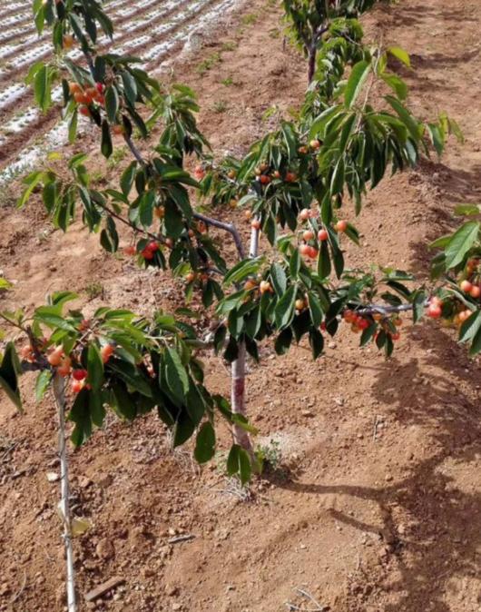 大青叶砧木樱桃树苗供应商